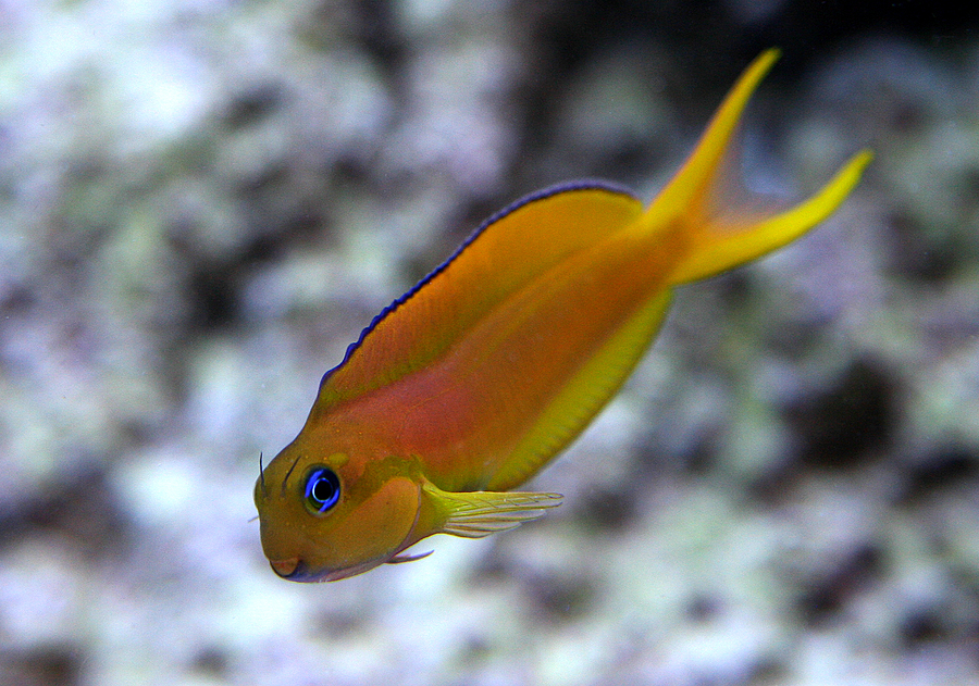 Write up wednesday midas blenny mr saltwater tank for Aggressive saltwater fish