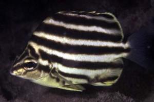 Australian Stripey