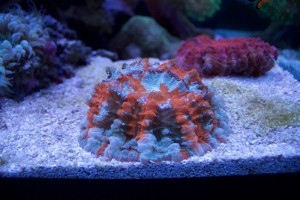 striped meat coral